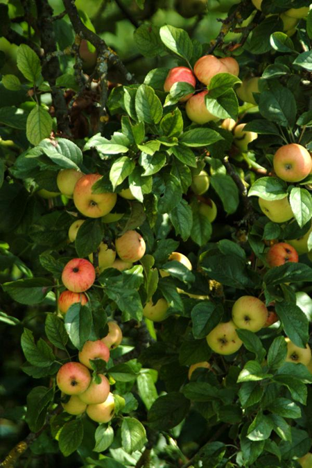 Planting and growing in the autumn - Planting fruit trees in autumn ...